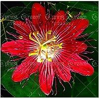 5pcs flor de la pasión (Passiflora incarnata), exóticas Semillas de plantas de fruta de la pasión Passiflora Edulis para…