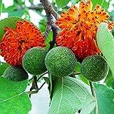 Organic seeds PAPER MULBERRY. Flower (Broussonetia papyrifera) Tree.