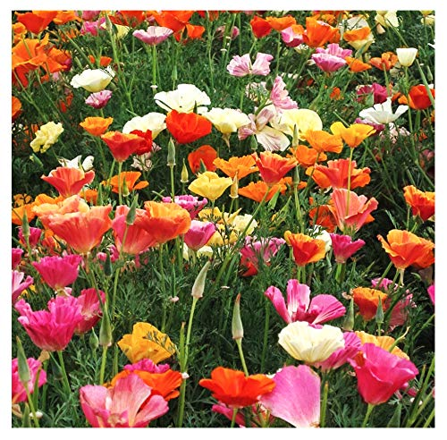 Mission Bells - California Poppy Mix Seeds - .2 Oz.- Approximately 3,700 Seeds - Non GMO and Neonicotinoid Seed