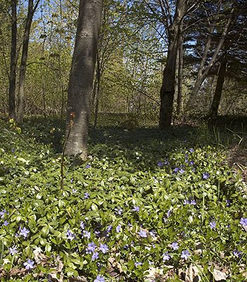 Growing Ground Cover - Vinca Major | Big Leaf Periwinkle | Fast Growing Evergreen Ground Cover Plants | 50 Bare Root Plants