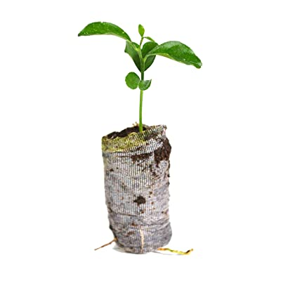 AchmadAnam - Live Plant 5 Trees Citrus Starter Lemon Meyer, Lemon Valencia Orange Key Lime Honey Tangerin : Garden & Outdoor