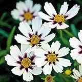 Big Bang Star Cluster Coreopsis Tickseed Perennial - Live Plant - Gallon Pot