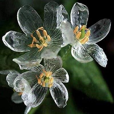 200pcs Rare Blooming Plants Exotic Transparent Flowers Seeds Diphylleia Grayi Balcony Annual Garden Organic for Home Garden Yard : Garden & Outdoor