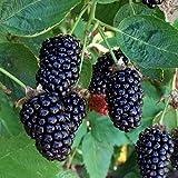 1 Starter Plant of Marionberry