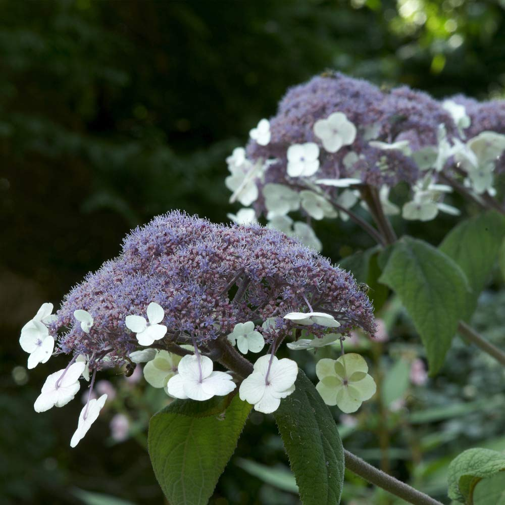 Potted Garden Plants Ideal for Cottage Gardens 1 x 3.6 Litre Pot Deciduous Flowering Shrub Thompson /& Morgan Hardy Perennial Hydrangea Macrophylla Patio and Containers