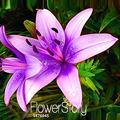 Hot Sale!50 Seeds/Pack Rare Purple pink Lilium Brownii Seeds Balcony Bonsai Courtyard Plant Flowers Lily Seeds,#Z0N2LV