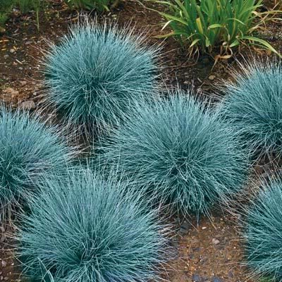- 100 BLUE SHEEPS FESCUE GRASS Fesnea Ovina Glauca Aestivum Seeds by Seedville