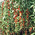 Znadna Seed - 60 Seeds Organic Rare Red Goji Berry Seeds Lycium Barbarum Wolfberry Seed Chinese Bocksthorn Seeds Medicinal herb Perennial