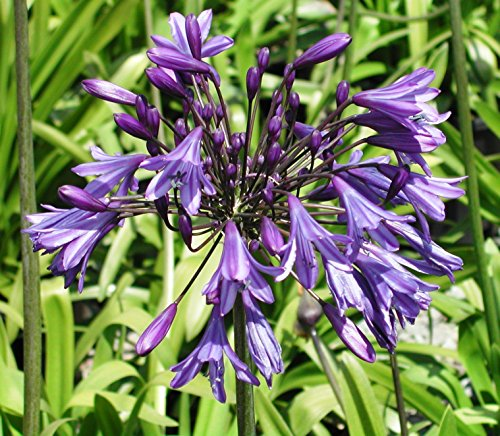 how to grow agapanthus in containers