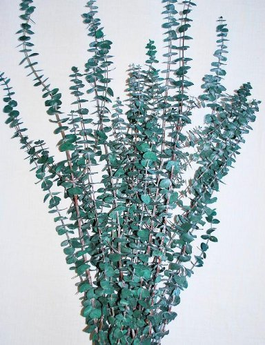 Eucalyptus-Branches - Green
