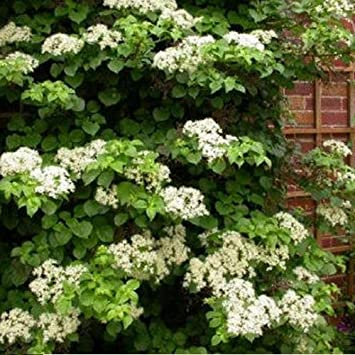 3 Hortense - Hortensia Petiolaris | compra 3 / paga 2 (para jardin ...