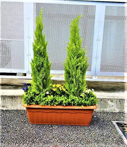 人工観葉植物 ゴールドクレスト  2本立ち ゴールドクレストプランター B07DKX7W4T