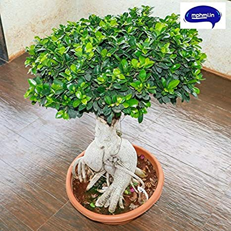 Amazing Store Mphmi Ficus Panda Bonsai Plant Amazon In Garden Outdoors