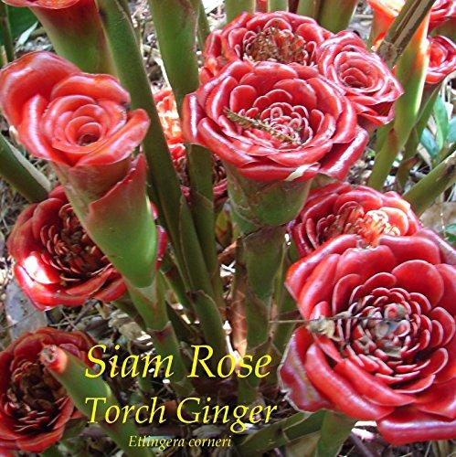 ~Siam Rose~ Etlingera corneri Collector's TORCH GINGER 10 Special RARE Seeds