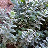 Wild Zaatar Oregano Seeds (Origanum syriacum) 30+ Rare Heirloom Herb Seeds in FROZEN SEED CAPSULES for the Gardener & Rare Seeds Collector - Plant Seeds Now or Save Seeds for Years