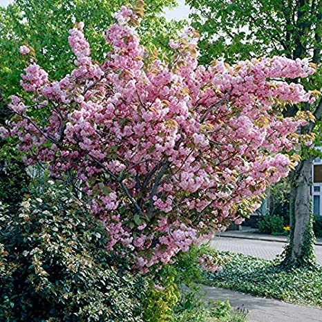 Kanzan Japanese Flowering Cherry Blossom Tree 5ft Bare Root 2 Years Old Amazon Co Uk Garden Outdoors