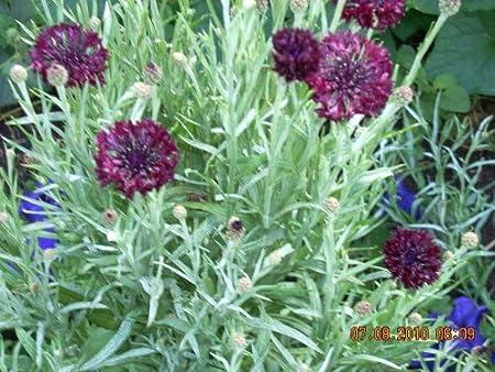 750 RED BACHELORS BUTTON CORNFLOWER Centaurea Seeds