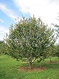 "American Hornbeam Carpinus Caroliniana Established Rooted 4"" Potted 3 Plugs"