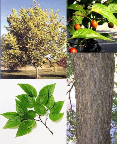 Common Hackberry. 50 seeds. trees, seeds