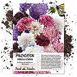 Seed Needs, Pincushion Imperial Mix (Scabiosa atropurpurea) 160 Seeds