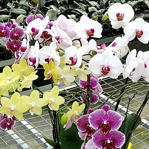Narutosak 10Pcs Mix Color Phalaenopsis Flower Seeds Bonsai Plant Butterfly Orchid Garden