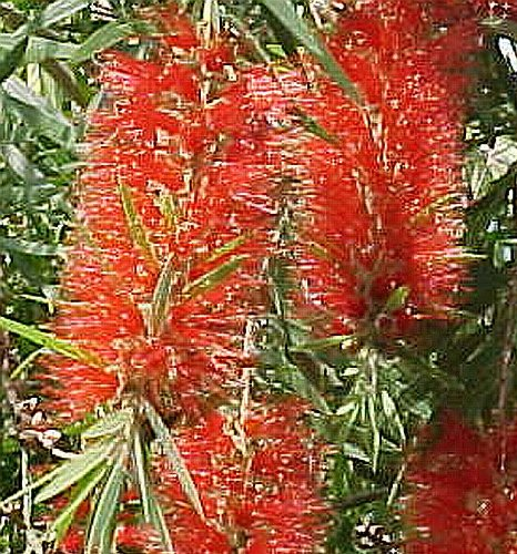 RED CLUSTER Clemson Bottlebrush Live Tree Plant Callistemon Rigidus Unusual Flowers Attract Hummingbirds Starter Size 4 Inch Pot Emerald Tm