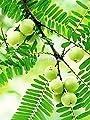 Thai Phyllanthus emblica Phyllanthaceae 10 Seeds ThailandMrk
