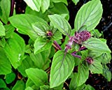 100+ ORGANICALLY GROWN Persian Basil Seeds Heirloom NON-GMO Anise Licorice Fragrant, Delicious and Flavorful, From USA