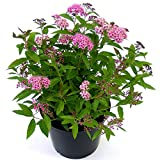 Thompson & Morgan Hardy Perennial Flowering Ornamental Shrub, Spiraea Japonica, Potted Garden Plants Ideal for Cottage Gardens, Patio and Containers (2 x 3 Litre Pot)