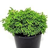 Miniature Fairy Garden Chamaecyparis obtusa, Butter Ball, Hinoki Cypress
