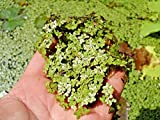 LIVE DUCKWEED PLANTS ( LEMNA sp )