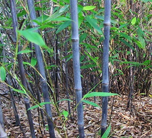 50pcs / plantas bolsa azul de bambú, semillas de bambú, semillas de bambú MOSO, Phyllostachys planta madre naturaleza, bricolaje para el hogar y el jardín de ciruela: Amazon.es: Jardín