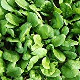 SPINACH - AMAZON F1 - 1000 SEEDS - BABY LEAF OR MATURE