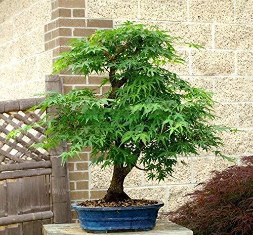 Pinkdose Bonsai Mpale Tree 30 Piezas/Paquete Arce Bonsai Blue ...