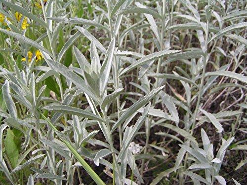 Sage Prairie (Prairie Sage Seeds (200 thru 1600 seeds) incense campfire patchouli herb)