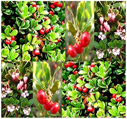 20 X BEARBERRY   Arctostaphylos Uva Ursi Seeds EXCELLENT GROUND COVER    EXTREMELY Cold Hardy