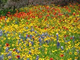 California Seaboard Wildflower Mix (500 thru 5 LB seeds) Coastal Blend ST7 (1.7 Million seeds, or 5 LB)
