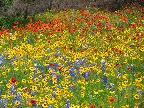 California Seaboard Wildflower Mix (500 thru 5 LB seeds) Coastal Blend ST7 (1.7 Million seeds, or 5 LB) by Zellajake Farm and Garden