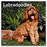 Labradoodles 2019 12 x 12 Inch Monthly Square Wall Calendar, Animals Mixed Dog Breeds