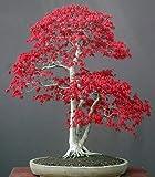 Acer palmatum - Japanese Red Maple - bonsai - 10 seeds