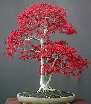 Acer Palmatum Japanese Red Maple Bonsai 10 Seeds Amazoncouk