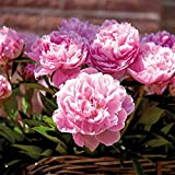 Van Zyverden Peonies Sarah Bernhardt Set of 3 Roots