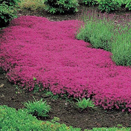 PLAT FIRM Semillas DE GERMINACION: Thymus Serpyllum - Cubierta de Tierra de Thymus Creeping Rosada - 1000 Semillas de Flores a Granel