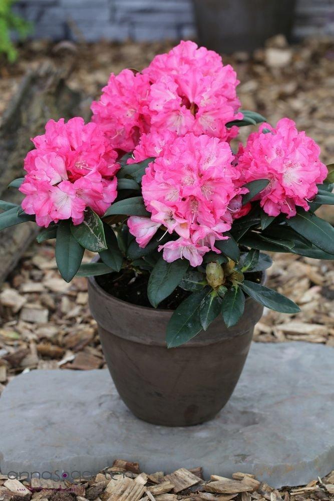Rhododendron `Polaris´- INKARHO®-Pflanze Größe 60-70 cm Pflanzenhöhe