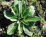 Asklepios-seeds - 50 Seeds Lactuca virosa, Wild