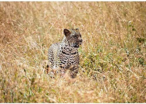 A Large Adult Leopard Looks Through The Tall Grasses Of The