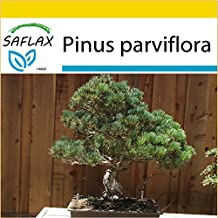 SAFLAX - Potting - Set - Bonsai - Japanese White Pine (Pinus parviflora) - 12 seeds - Outdoor Bonsai - With greenhouse, soil and pots