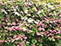 20 Variegated ARCTIC BEAUTY KIWI FRUIT Edible Actinidia Kolomikta Vine Seeds