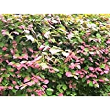 20 Variegated ARCTIC BEAUTY KIWI FRUIT Edible Actinidia Kolomikta Vine Seeds *Flat Shipping
