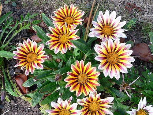 Haritham Rare African Daisy Gazania Flower Plant - 1 Live Plant